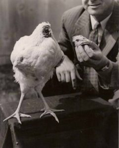 Mike-the-headless-chicken.-He-managed-to-live-18-months-without-a-head.-600x749
